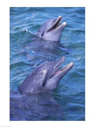 Framed Bottle-Nosed Dolphins Calling Out Together Print