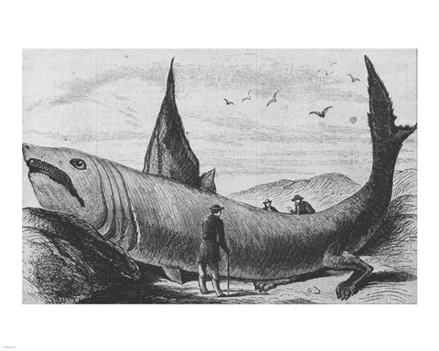 Framed Basking Shark Harper's Weekly October 24, 1868 Print