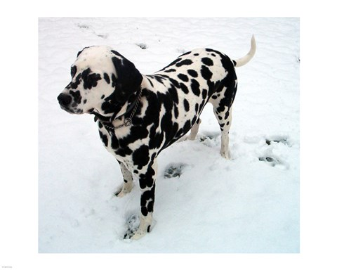 Framed Dalmatian in Snow Print