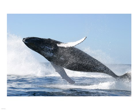 Framed Humpback Whale Jumping Print