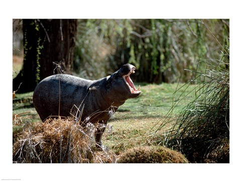 Framed Pygmy Hippopotamus yawning in the forest (Choeropsis liberiensis) Print