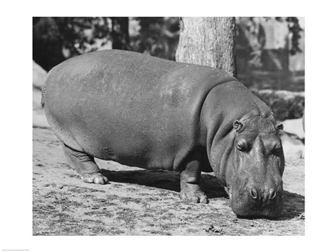 Framed Hippopotamus Black and White Print