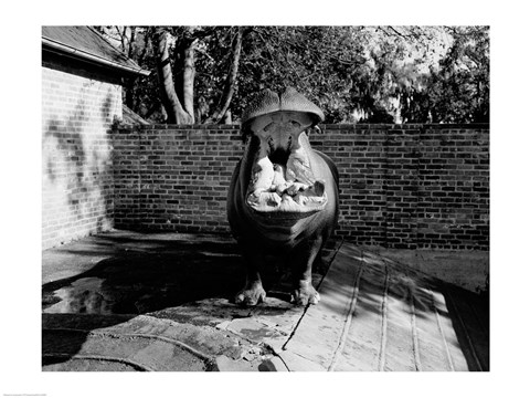 Framed USA, Louisiana, New Orleans, Hippopotamus in zoo yawning Print