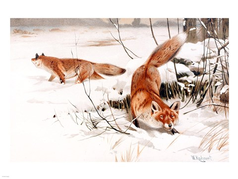 Framed Common Foxes in the Snow Print