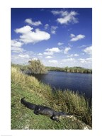 High angle view of an alligator near a river, Everglades National Park, Florida, USA