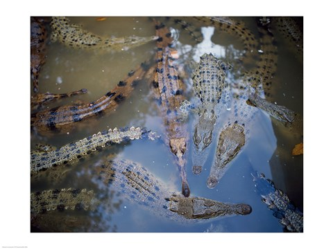 Framed High angle view of crocodiles in a pool of water Print