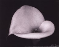 Calla Lilly IV - mini