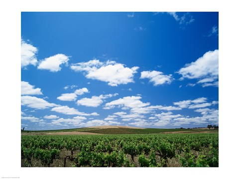 Framed Panoramic view of vineyards, Barossa Valley, South Australia, Australia Print