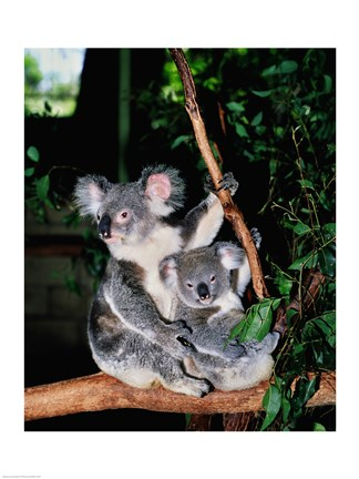 Framed Koala and its young sitting in a tree, Lone Pine Sanctuary, Brisbane, Australia (Phascolarctos cinereus) Print