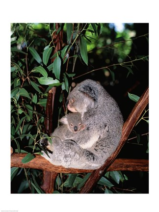 Framed Koala hugging its young, Lone Pine Sanctuary, Brisbane, Australia (Phascolarctos cinereus) Print
