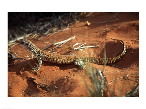 Framed High angle view of a goanna, Australia Print