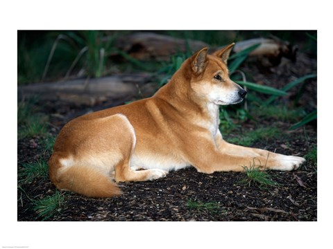 Framed Close-up of a dingo sitting in a forest (Canis dingo) Print