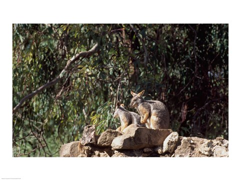 Framed Yellow-Footed  Rock-Wallabies Australia Print