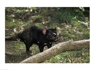 Tasmanian Devil Australia