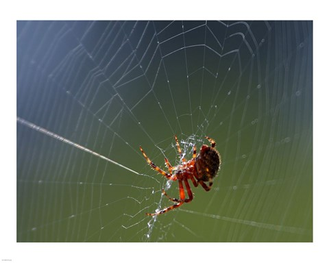 Framed Spider Spinning Its Web Print