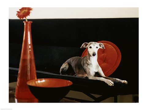 Framed Italian Greyhound lying on a sofa Print