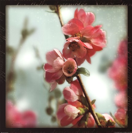 Framed Quince Blossoms III Print