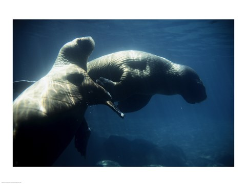 Framed Two Pacific Walruses swimming underwater Print