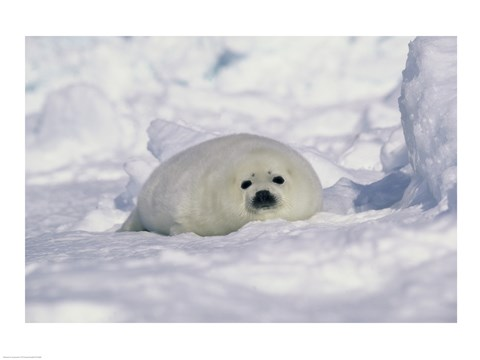 Framed Harp Seal on His Belly Print