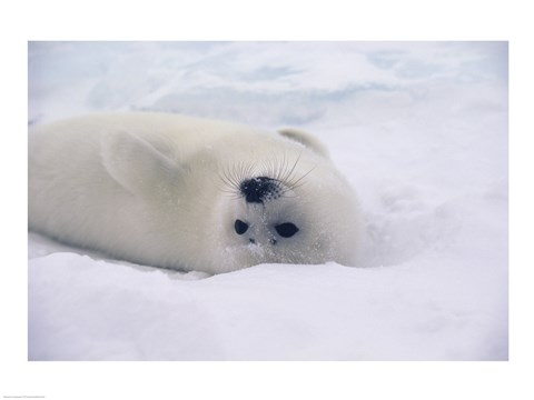 Framed White Harp Seal Print