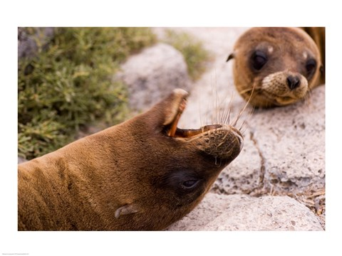 Framed Close-up of two Sea Lions relaxing on rocks, Ecuador Print