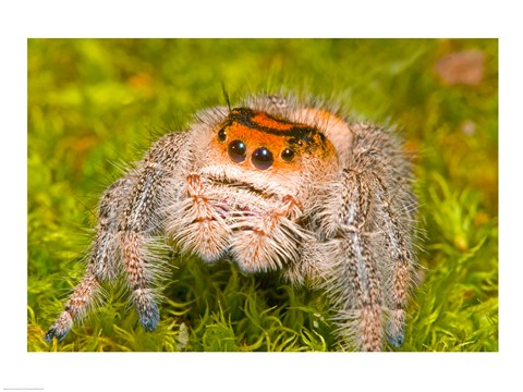 Framed Regal Jumping spider in a field, Florida, USA Print