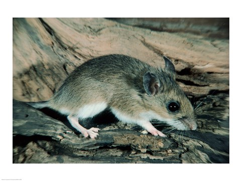 Framed White-footed Mouse Print