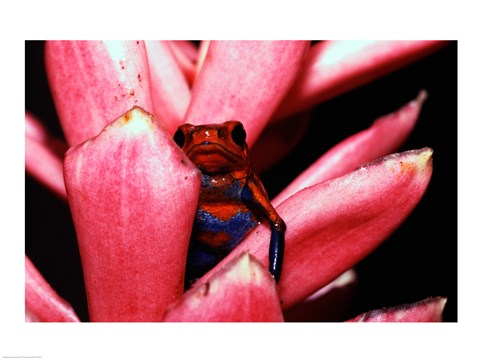 Framed Close-up of a Strawberry Poison Dart frog Print