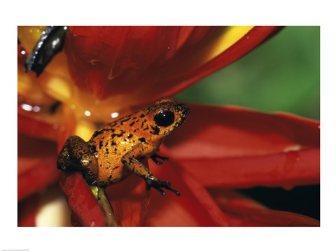 Framed Strawberry Poison Frog - red flower Print