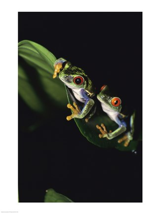Framed Red-Eyed Tree Frogs Print