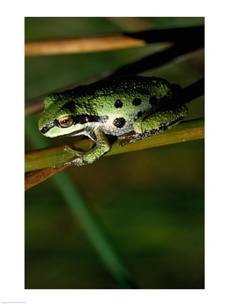 Framed Pacific Tree Frog Print