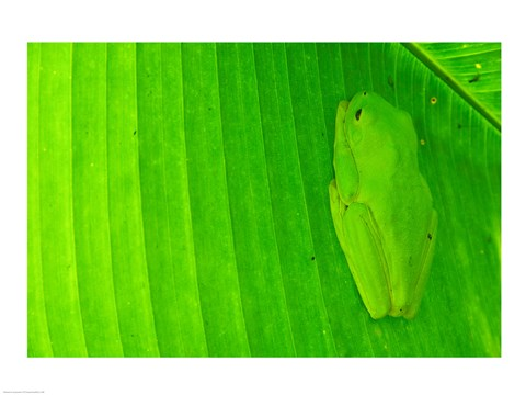 Framed Green frog  hiding on a banana leaf, Costa Rica Print