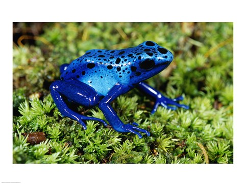 Framed Close-up of a Blue Poison Dart Frog in the grass Print