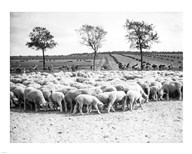 Cyclists passing a herd of sheep, Tour de France 1938