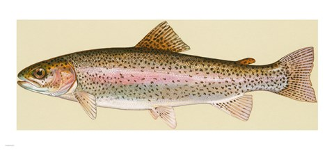 Framed Rainbow trout - long Print