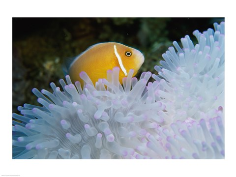 Framed Clown Fish, Nananu-I-Ra Island, Fiji Print