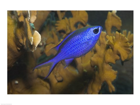 Framed Blue Chromis Fish Print