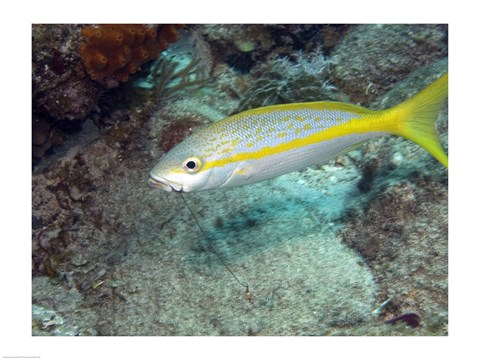 Framed Yellowtail Snapper Print