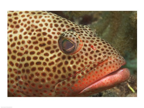 Framed Red Hind Fish up close Print