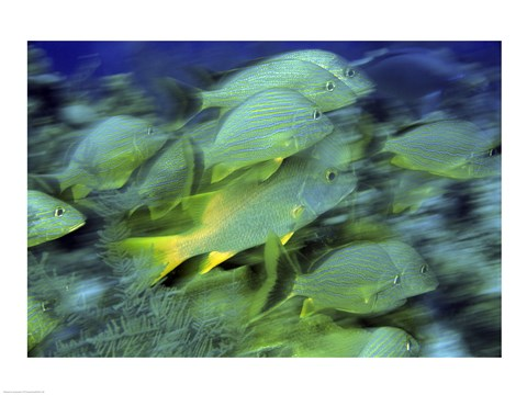 Framed School of French Grunts swimming underwater, Bonaire, Netherlands Antilles Print