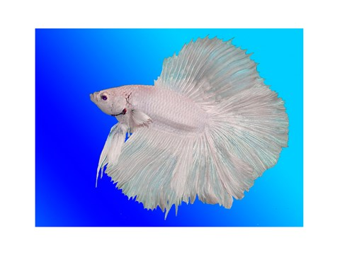 White betta fish fine art print by unknown at for Betta fish for sale at walmart