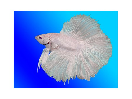 external image white-betta-fish.jpg