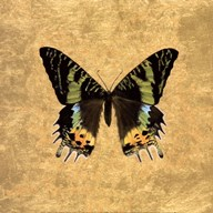 Butterfly on Gold  Fine Art Print