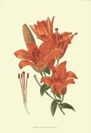 Striking Lilies II  Fine Art Print