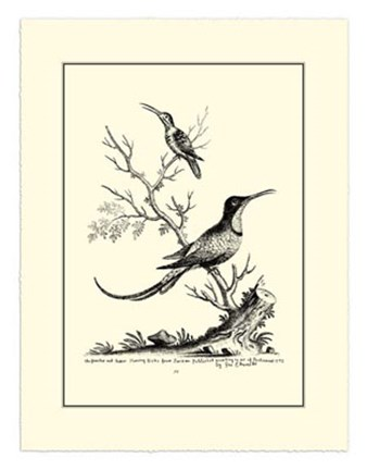 Framed B&W Grt. & Less. Hummingbird (1742) Print
