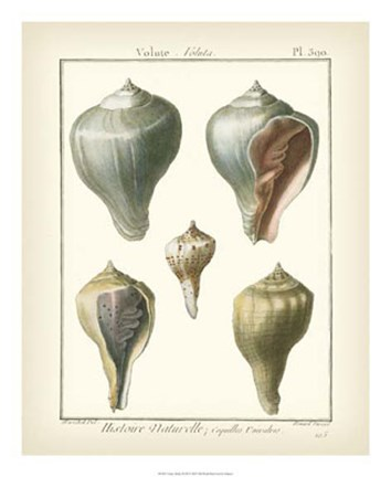 Framed Volute Shells, Pl.390 Print