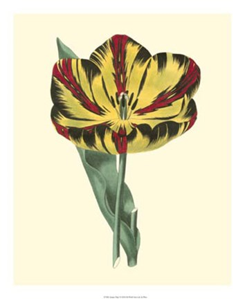Framed Antique Tulip I Print