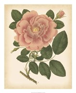 Antique Rose I