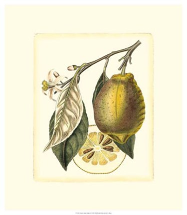 Framed French Lemon Study II Print