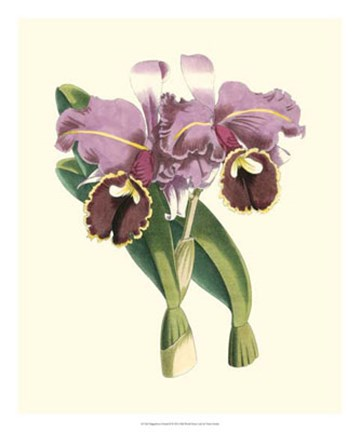 Framed Magnificent Orchid II Print